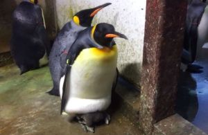 Gay_Penguin_Odense_Zoo_3